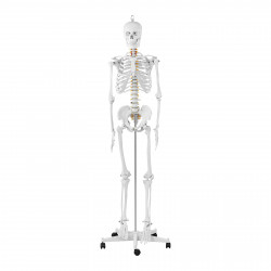 Skeleto modelis PHY-SK-1