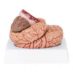 Smegenų modelis PHY-BM-1