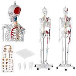 Skeleto modelis PHY-SK-2 180 cm