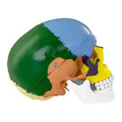 Kaukolės modelis PHY-SK-3