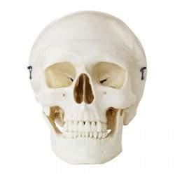 Kaukolės modelis PHY-SK-4