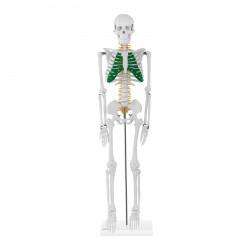 Skeleto modelis PHY-SK-5