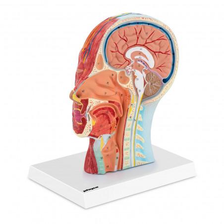 Žmogaus kaukolės modelis PHY-HM-4