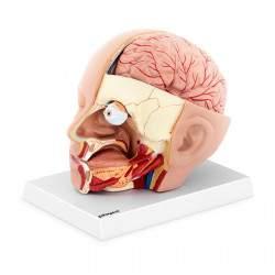 Žmogaus galvos ir smegenų modelis PHY-HM-5