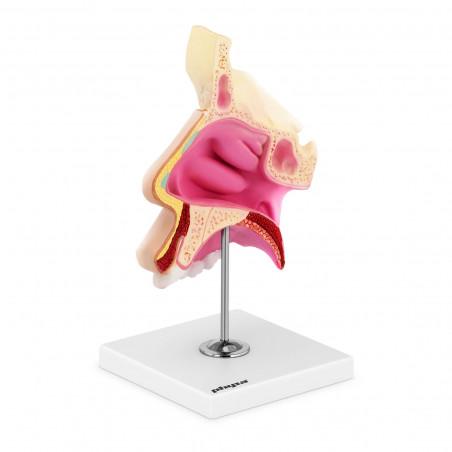 Nosies ertmės modelis PHY-NM-1