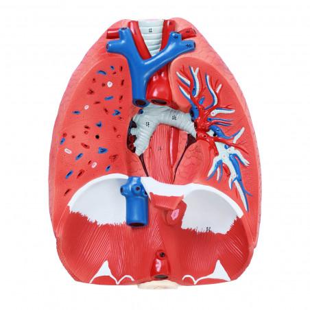 Kvėpavimo sistemos modelis PHY-RS-2