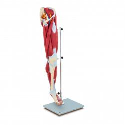 Žmogaus kojos modelis PHY-LM-4