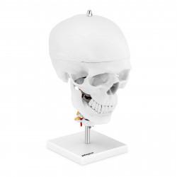 Kaukolės modelis PHY-SK-8
